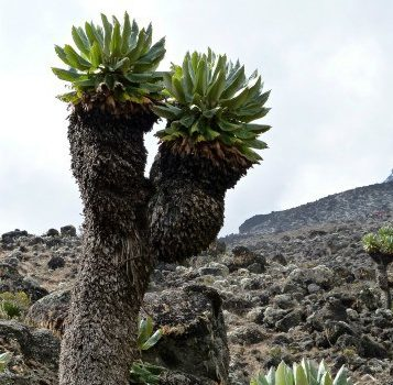 Giant senecio on Kilimanjaro