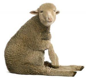 merino wool for hiking socks