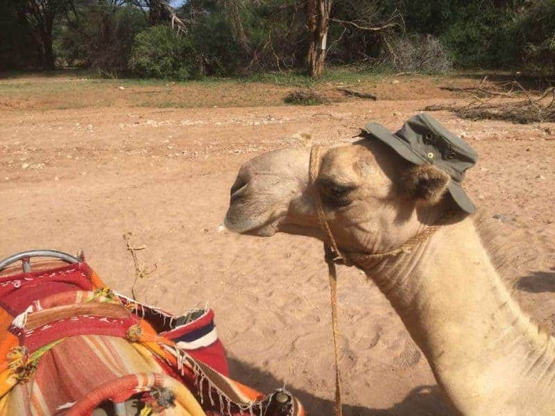 Camel with a hat on, preventing heatstroke when hiking