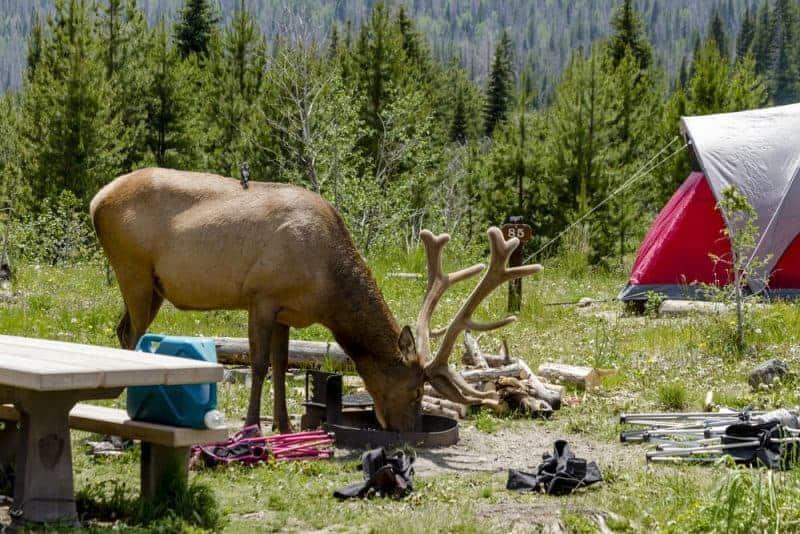 Bull elk with full antlers in a campsite