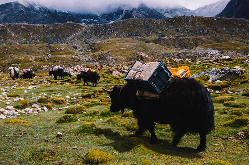 A horizontal image of yaks carrying loads in a valley in Nepal with mountains in the background.